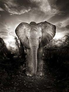 Protector of the Giants photographic exhibition Verwaiste Elefanten: David Sheldrick Wildlife Trust Wild Elephant, Elephant Love, Little Elephant, Elephant Spirit Animal, Elephant Images, Elephant Art, Amazing Animals, Animals Beautiful, Cute Animals