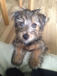 Rufus our Norfolk Terrier pup