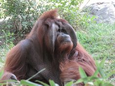"Animal photos are a great way to teach children how to ""read"" emotions. Animals Images, Animal Pictures, Cute Animals, Wild Animals, Orangutan Sanctuary, Ape Monkey, Cute Creatures, Primates, Orangutans"