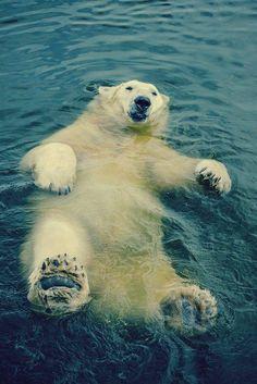 polar bear is chillin'...
