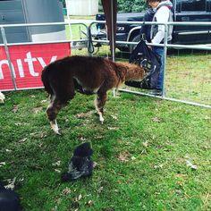 I said Llama @burr_it_knee said its Alpaca. Either way if it's 100% you blot that... !!!!