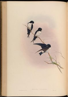 n147_w1150 by BioDivLibrary, via Flickr  John Gold Birds of  Asia 1850-1883