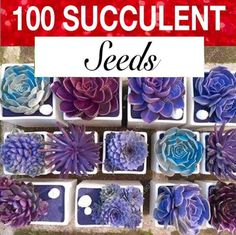 100 seed pack Easy to grow Gorgeous colors ranging from purple to blue-purple. Adds a splash of purple color to your succulent garden. Here's a 100 seed mix of the most rarest purple assortment cacti and Purple Succulents, Planting Succulents, Planting Flowers, Succulent Gardening, Succulent Plants, Peony Flower, Cactus Flower, Flower Pots, Succulent Seeds