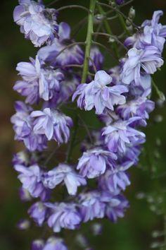 Wisteria floribunda violacea plena glycine japonaise