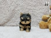 Amazing Adorable Star ~ Precious Micro Teacup 8 Ounces at 10 weeks Available!