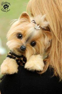 Yorkie Yorkshire Terrier Cleopatra By Evgeniya and Igor Krasnov - Bear Pile Yorkies, Yorkie Puppy, Pomeranians, Cute Puppies, Cute Dogs, Dogs And Puppies, Animals And Pets, Baby Animals, Cute Animals