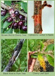 Preventing Diseases in Fruit Trees