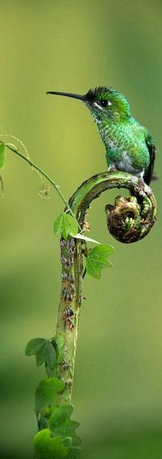 Hummingbird .