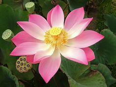 Ideas Flowers Photography Lotus Tattoos For 2019 Lotus Flower Seeds, Nelumbo Nucifera, Indian Flowers, Wedding Table Flowers, Most Beautiful Flowers, Flower Images, Water Plants, Medicinal Plants, Flower Boxes