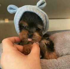 Trendy Dogs And Puppies Breeds Yorkie Cute Teacup Puppies, Tiny Puppies, Cute Dogs And Puppies, Pet Dogs, Pets, Teacup Dogs, Cute Small Dogs, Teacup Yorkie, Poodle Puppies