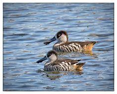 Pink-eared Ducks - Yerrabi Pond, ACT
