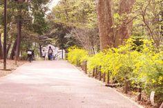 17:「満開のヤマブキ」@林試の森公園