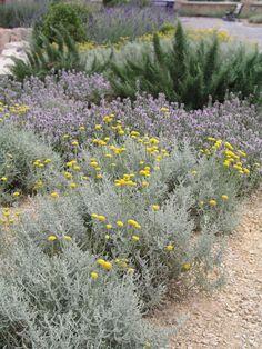 Heligenkraut (Santolina chamaecyparissus) Gravel Garden, Garden Landscaping, Attic Inspiration, Mediterranean Garden Design, Good Morning Flowers, Garden Cottage, Texas Hill Country, Organic Farming, Plant Design