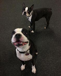 Kai & King Kong   #dogs #bostonterrier #instagood #instadaily #petsofinstagram #lalife