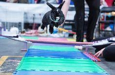 56 best rabbit agility ideas images on pinterest bunny bunnies