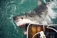 Australian officials look to lift ban on killing Great White Sharks