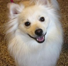 Meet Maximus! He is an ‪#‎AmericanEskimo‬ / ‪#‎Pomeranian‬ mix about two years old. He is uncomfortable with human females when they try to pet him and has been known to nip and sometimes bite, so he needs a male-only home. He is the most cuddly ‪#‎dog‬. He has lots of energy and loves to play fetch, go for walks, and wrestle. He is great with other ‪#‎dogs‬ and great with cats. http://www.doggielife.com/maximus/dogs/6KFNCR