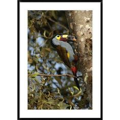 Global Gallery 'Plate-Billed Mountain Toucan Feeding Young  Andes Mountains' Framed Photographic Print Size: