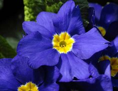 Primrose flowers fight free radicals while renewing, protecting and energizing your skin.