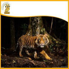 """Photograph by Steve Winter, National Geographic """"A tiger peers at a camera trap it triggered while hunting in the early morning in the forests of northern Sumatra, Indonesia. Especie Animal, Mundo Animal, Tiger Pictures, Cool Pictures, Tiger Habitat, Tiger Facts, Safari, Wild Tiger, Tiger Tiger"""