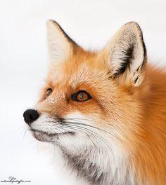 """Intent Eyes"" - Mountain Fox in Cody, Wyoming   Judylynn Malloch, via 500px."