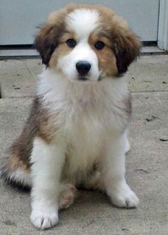 Bernese Mountain Dog and Great Pyrenees mix...