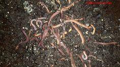 Kompostwürmer mistwürmer und wurmhumus und eine kleine wurmzucht composting