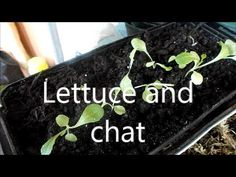 Lettuce and chat