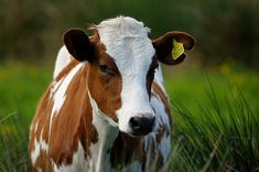 A young Ayrshire cow