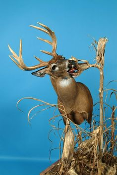 There is simply nothing like a cool mount for that big buck. Here are seven creative deer mounts to inspire you when you score your next trophy. Deer Hunting Decor, Deer Head Decor, Hunting Stuff, Whitetail Hunting, Hunting Art, Whitetail Bucks, Taxidermy Decor, Taxidermy Display, Funny Taxidermy