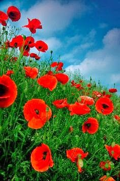 #Poppies Against Summer #BlueSky