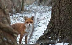'A Fox In Winter' Canvas Print by saveanimals Canvas Prints, Framed Prints, Art Prints, Fox Hunting, Fox Design, Winter Wonder, Red Fox, My Animal, Baby Animals