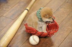 豆助 Mamesuke. shiba inu puppy. i remember when riley was that small