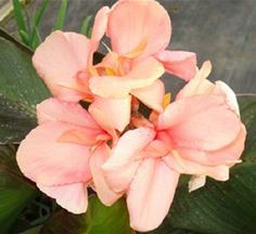 "Canna lily ""Baby Girl Pink"" live plant Cannaceae - Reddish Green leaves and Tropical Landscaping, Tropical Garden, Tropical Plants, Pool Plants, Landscaping Ideas, Canna Flower, Canna Lily, Grape Vine Plant, Elephant Ear Plant"