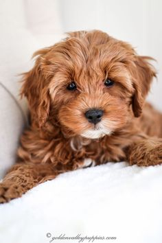 Cavapoo Puppies for Sale - Golden Valley Puppies, Cavapoo Puppies, King Charles Cavalier Mix, Poodle Cavapoo Breeders, Cavapoo Puppies For Sale, Brown Puppies, Cockapoo Puppies, Puppies And Kitties, Baby Puppies, Cute Puppies, Goldendoodles, Labradoodle
