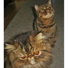 To fantastiske puser vi har hatt gleden av å passe :) Trenger du kattepass? Sjekk ut vår nettside: www.talk2paw.no.