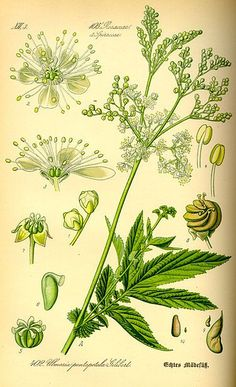 botanical ] prints filipendula - Google Search