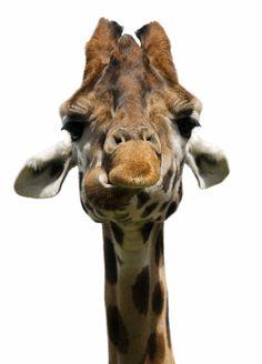 Giraffe Giraffe Giraffe