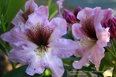 Photo of Rhododendron (Rhododendron 'Joan Leslie Hammond') uploaded by Calif_Sue