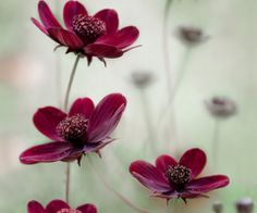 500px / Cosmos sway by Mandy Disher