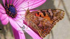 Butterfly Daisy Painted Lady Osteospermum