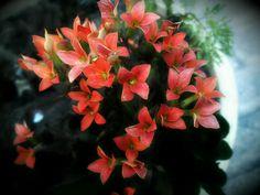 Flor da fortuna