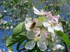 Honey bee on Wild Plum bloom..