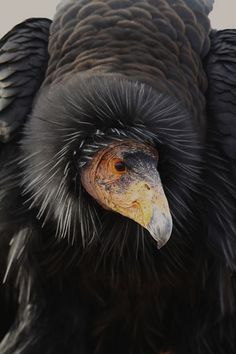 Condor Condors could make it if only Utah hunters would love our wild public lands and non-lead bullets more than the NRA. Despite popularized belief, the two are not mutually exclusive. Logic is failing society! Pretty Birds, Love Birds, Beautiful Birds, Animals Beautiful, Cute Animals, Rapace Diurne, California Condor, Big Bird, Bird Pictures