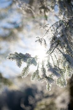 Frosted pine needles by Erik Meylemans on Flickr.
