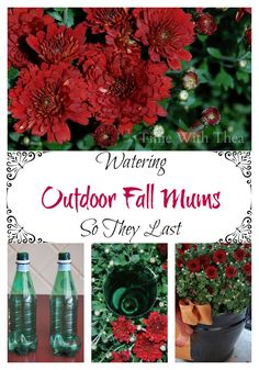 Watering Outdoor Fall Mums So They Last ~ Do you like to buy and showcase gorgeous outdoor fall Mums? Here is an easy way to make sure these flowers stay healthy and thrive throughout the autumn season.