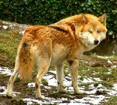 unusual colored wolves - Google Search
