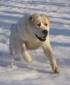 Running Central Asian dog