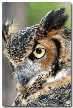Owl for art Owl Photos, Owl Pictures, Beautiful Owl, Animals Beautiful, Owl Bird, Pet Birds, Regard Animal, Owl Tattoo Drawings, Animals And Pets