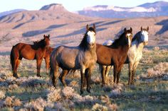 Wild Mustangs Seeing them makes my heart want to go back in time and live in the wild west.